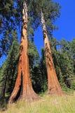 Γιγαντιαία sequoia δέντρα Sequoia στο εθνικό πάρκο, Καλιφόρνια Στοκ Φωτογραφίες