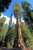 Γιγαντιαία sequoia δέντρα Sequoia στο εθνικό πάρκο, Καλιφόρνια Στοκ Φωτογραφία
