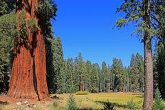 Γιγαντιαία sequoia δέντρα Sequoia στο εθνικό πάρκο, Καλιφόρνια Στοκ Εικόνα