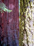 γιγαντιαία sequoia Καλιφόρνιας δέντρα Στοκ φωτογραφία με δικαίωμα ελεύθερης χρήσης
