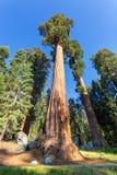 Γιγαντιαία Sequoia redwood δέντρα με το μπλε ουρανό Στοκ Εικόνες