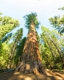 Γιγαντιαία Sequoia redwood δέντρα με το μπλε ουρανό Στοκ Φωτογραφίες