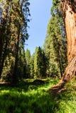 Γιγαντιαία Sequoias στο άλσος επιχορήγησης στοκ φωτογραφία με δικαίωμα ελεύθερης χρήσης
