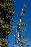γιγαντιαία sequoias yosemite Στοκ φωτογραφία με δικαίωμα ελεύθερης χρήσης