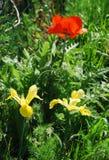 Γιγαντιαίες κόκκινες παπαρούνα και ίριδες Στοκ φωτογραφία με δικαίωμα ελεύθερης χρήσης