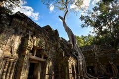 Γιγαντιαίες ρίζες δέντρων Banyan πέρα από το ναό TA Phrom, Angkor, αρχαιολογικό πάρκο, Καμπότζη Στοκ φωτογραφίες με δικαίωμα ελεύθερης χρήσης