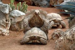 γιγαντιαίες χελώνες αναπαραγωγής Στοκ Φωτογραφίες
