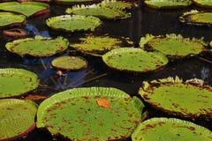 Γιγαντιαίοι κρίνοι νερού στο Μαυρίκιο Στοκ Εικόνες