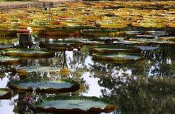 Γιγαντιαίοι κρίνοι νερού στο Μαυρίκιο Στοκ Φωτογραφίες