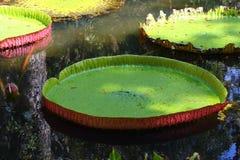 Γιγαντιαίοι κρίνοι νερού στο Μαυρίκιο Στοκ Εικόνα