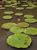 Γιγαντιαίοι κρίνοι νερού στο Μαυρίκιο Στοκ Φωτογραφία