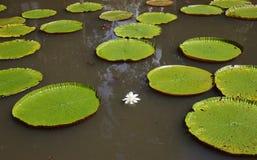 Γιγαντιαίοι κρίνοι νερού στο Μαυρίκιο Στοκ φωτογραφία με δικαίωμα ελεύθερης χρήσης