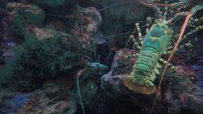 Γιγαντιαίος αστακός στη θάλασσα απόθεμα βίντεο