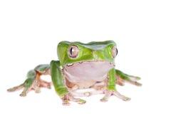 Γιγαντιαίος βάτραχος φύλλων στο άσπρο υπόβαθρο στοκ εικόνες