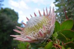 Γιγαντιαίος βασιλιάς Protea στοκ εικόνα με δικαίωμα ελεύθερης χρήσης