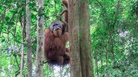 Γιγαντιαίος ενήλικος orangutan που κρεμά σε ένα δέντρο στις άγρια περιοχές Στοκ Φωτογραφίες