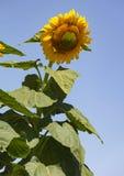 Γιγαντιαίος ηλίανθος με τα γιγαντιαία φύλλα ενάντια σε έναν μπλε ουρανό στοκ φωτογραφία με δικαίωμα ελεύθερης χρήσης