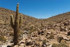 Γιγαντιαίος κάκτος στην έρημο Atacama Στοκ Φωτογραφία