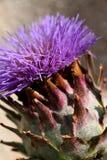 γιγαντιαίος κάρδος onopordum acanthium Στοκ Εικόνες