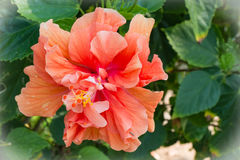 Γιγαντιαίος και όμορφος: hibiscus πορτοκαλί λουλούδι, χρώμα διαδικασίας Στοκ φωτογραφία με δικαίωμα ελεύθερης χρήσης