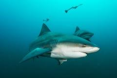Γιγαντιαίος καρχαρίας ταύρων Στοκ φωτογραφία με δικαίωμα ελεύθερης χρήσης