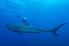 Γιγαντιαίος καρχαρίας τιγρών Στοκ Εικόνα