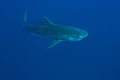 Γιγαντιαίος καρχαρίας τιγρών Στοκ εικόνες με δικαίωμα ελεύθερης χρήσης