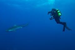 Γιγαντιαίος καρχαρίας τιγρών Στοκ εικόνα με δικαίωμα ελεύθερης χρήσης