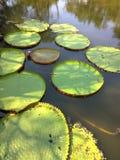 Γιγαντιαίος κρίνος νερού amazonica Βικτώριας, βασιλικός κρίνος νερού στοκ φωτογραφία
