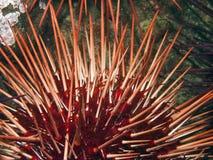 γιγαντιαίος κόκκινος αχ Στοκ Εικόνα