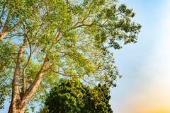 Γιγαντιαίος μίσχος του δέντρου indicus pterocarpus ενάντια στον ήλιο Στοκ Εικόνα
