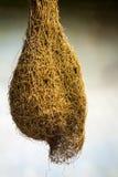 Γιγαντιαίο έντομο κουκουλιού στοκ φωτογραφία με δικαίωμα ελεύθερης χρήσης