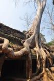 Γιγαντιαίο δέντρο που καλύπτει τις πέτρες του ναού TA Prohm σε Angkor Wat Στοκ φωτογραφίες με δικαίωμα ελεύθερης χρήσης
