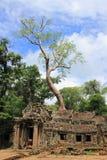 Γιγαντιαίο δέντρο σε έναν ναό TA Prohm σε Angkor Wat (Siem συγκεντρώνει, Καμπότζη) Στοκ Εικόνα