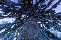 Γιγαντιαίο δέντρο σε Jukkasjarvi, Σουηδία Στοκ εικόνες με δικαίωμα ελεύθερης χρήσης