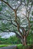 Γιγαντιαίο δέντρο την άνοιξη Στοκ Φωτογραφίες