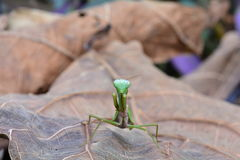 Γιγαντιαίο ασιατικό heteroptera Hierodula aka mantis Στοκ φωτογραφία με δικαίωμα ελεύθερης χρήσης