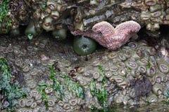 Γιγαντιαίο αστέρι θάλασσας και ένα γιγαντιαίο πράσινο anemone στοκ φωτογραφία