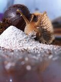 Γιγαντιαίο αφρικανικό σαλιγκάρι kalutara Στοκ φωτογραφίες με δικαίωμα ελεύθερης χρήσης