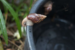 Γιγαντιαίο αφρικανικό σαλιγκάρι στην ρύπος-διαδρομή Στοκ φωτογραφία με δικαίωμα ελεύθερης χρήσης
