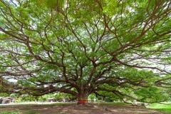 Γιγαντιαίο δέντρο βροχής στοκ φωτογραφίες