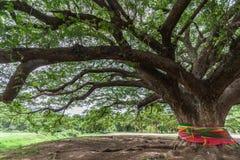 Γιγαντιαίο δέντρο βροχής στοκ φωτογραφία με δικαίωμα ελεύθερης χρήσης