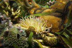 Γιγαντιαίο καραϊβικό gigantea Condylactis anemone θάλασσας Στοκ εικόνες με δικαίωμα ελεύθερης χρήσης