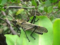 Γιγαντιαίο κόκκινο φτερωτό Grasshopper Στοκ Εικόνες