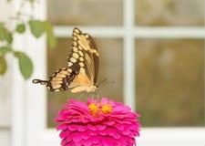 Γιγαντιαίο να ταΐσει πεταλούδων Swallowtail με ένα λουλούδι Στοκ φωτογραφία με δικαίωμα ελεύθερης χρήσης
