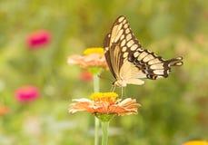 Γιγαντιαίο να ταΐσει πεταλούδων Swallowtail με ένα λουλούδι Στοκ Φωτογραφία