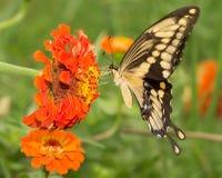 Γιγαντιαίο να ταΐσει πεταλούδων Swallowtail με ένα πορτοκαλί λουλούδι της Zinnia Στοκ εικόνες με δικαίωμα ελεύθερης χρήσης
