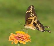 Γιγαντιαίο να ταΐσει πεταλούδων Swallowtail με την πορτοκαλιά Zinnia Στοκ Εικόνες