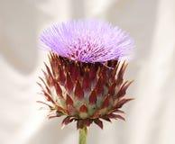 Γιγαντιαίο λουλούδι κάρδων Στοκ εικόνες με δικαίωμα ελεύθερης χρήσης