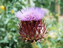 Γιγαντιαίο λουλούδι 2 κάρδων Στοκ εικόνες με δικαίωμα ελεύθερης χρήσης